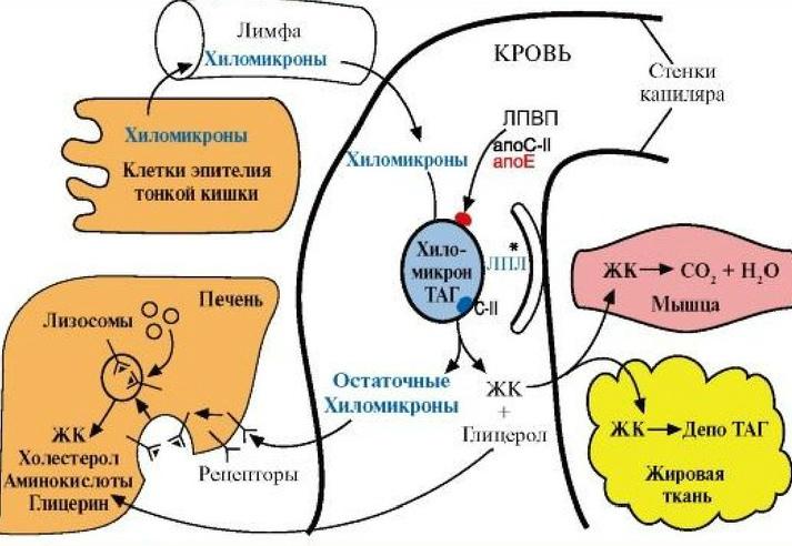 Функции липопротеинов в крови и плазме крови
