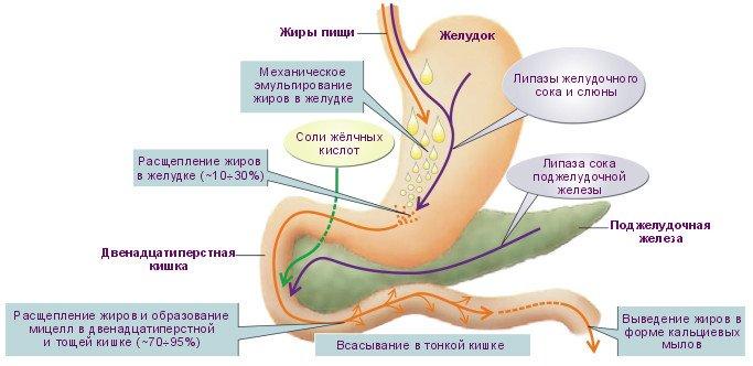 Причины уменьшения хиломикронов в крови