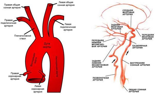 Строение БЦА и питающихся от них артерий мозга
