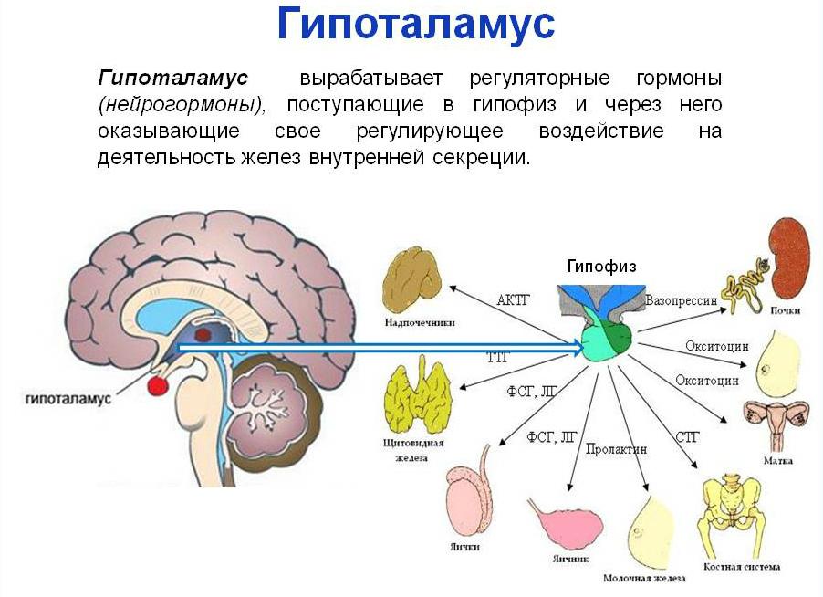 Гипоталамус