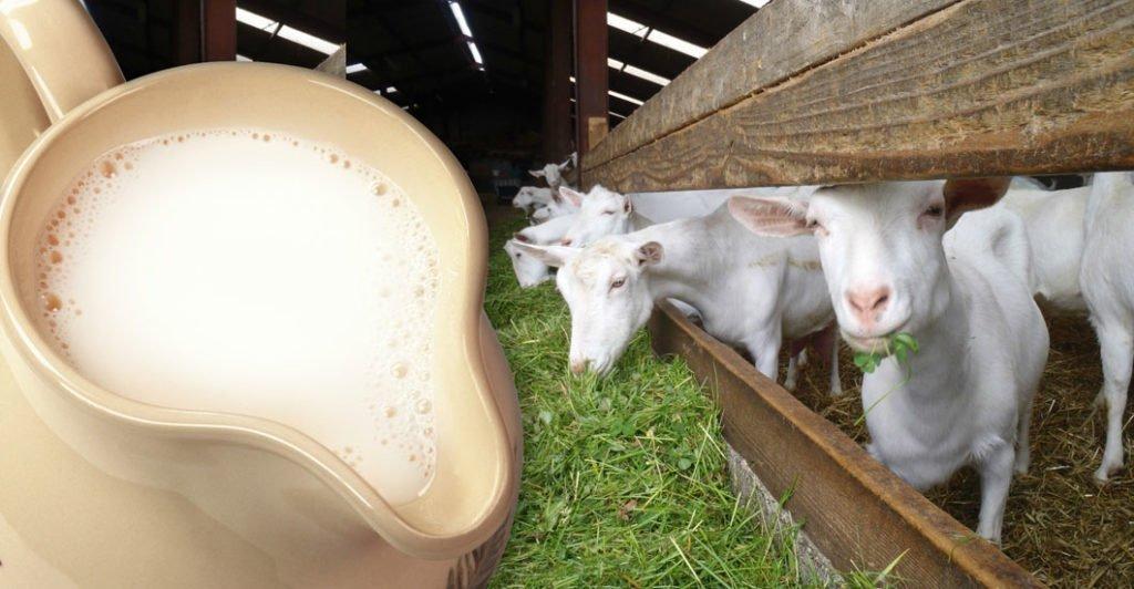 Козье молоко не содержит казеина
