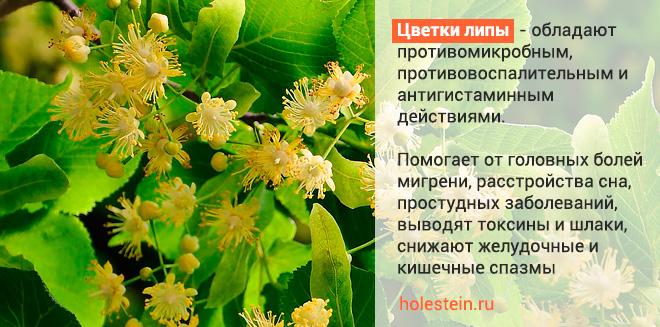 Польза цветов липы