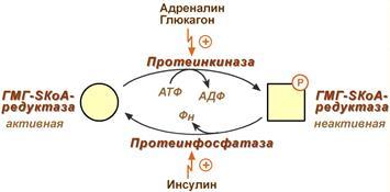 Регуляция активности гидроксиметилглутарил-S-КоА-редуктазы