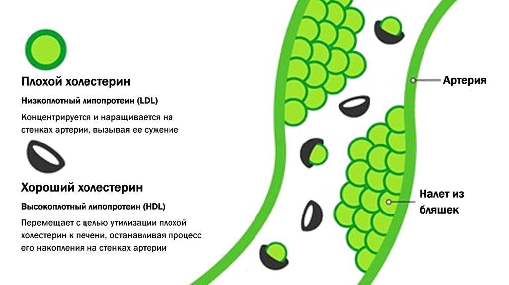 Роль ЛПВП в организме человека