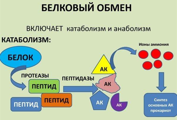 белковый обмен