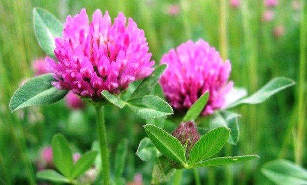 Целебное растение клевер