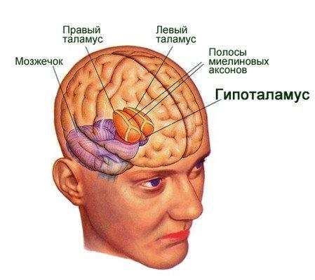 либерины и статины, производятся клетками гипоталамуса