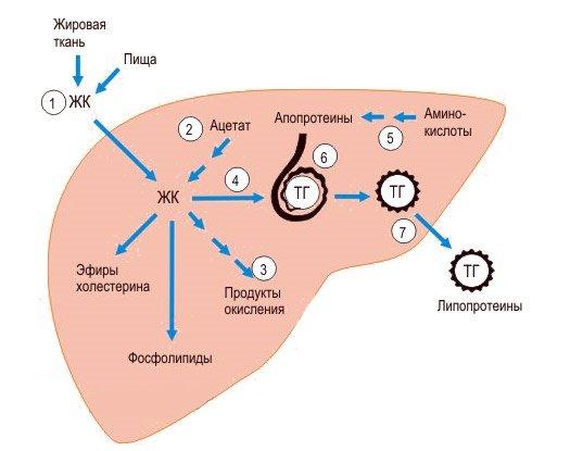 Жировой обмен в печени и формирование триглицеридов