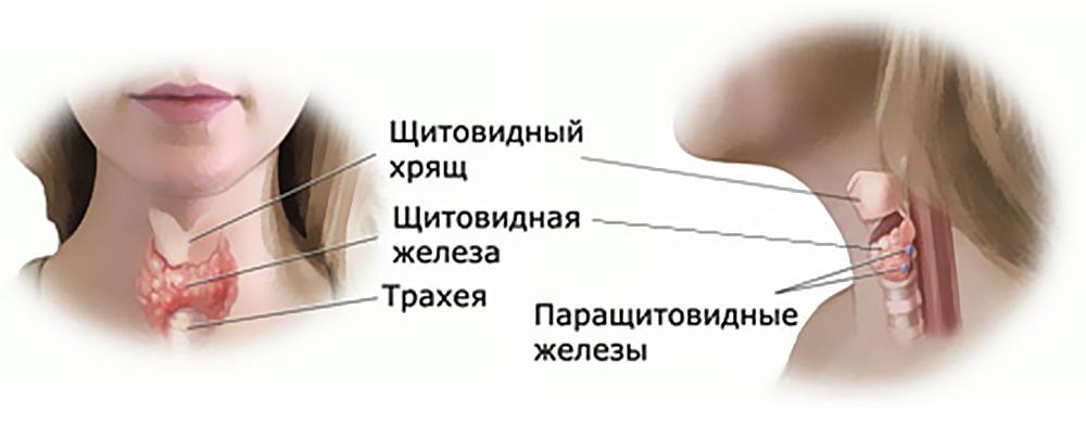 Функциональные обязанности щитовидной железы